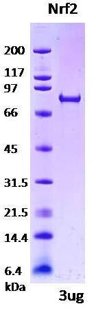 Nuclear factor-like 2, NRF2, NFE2L2, nuclear factor erythroid 2-related factor 2
