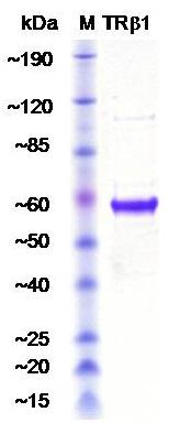 Thyroid Hormone Receptor beta 1 isoform